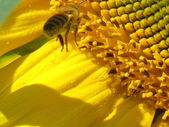 Abeille sur tournesol — Photo