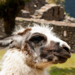 Machu Picchu - LLama with Stonework in the Background - Stock Photo