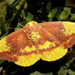 Imperial Moth — Stock Photo