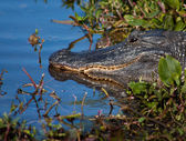 American Alligator Sunning Itself — Stock Photo