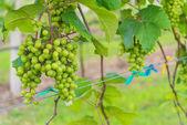 Grape valley — Stock Photo