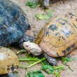 Turtle — Stock Photo #33170583