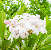 Plumeria — Stock Photo