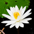 White lotus — Stock Photo