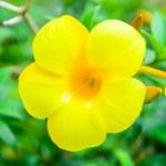 Hibiscus flower — Stock Photo #34784741