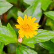 Little yellow star flower — Stock Photo