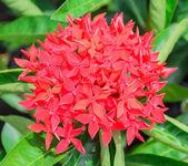 Rubiaceae — Stock Photo