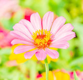 Beautiful flowers in the garden using — Stock Photo