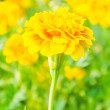 Beautiful Marigold flowers in the garden — Photo