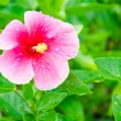 Hibiscus — Stock Photo #35493757