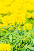 Marigold flowers — Stockfoto