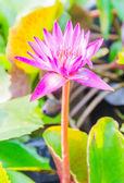 Lotus — Foto de Stock