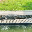 Crocodile in the zoo — Stock Photo #37684049