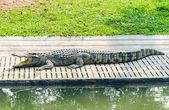 Crocodile in the zoo — Stock Photo