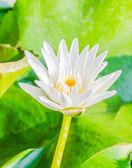 Lotus — ストック写真