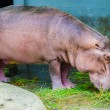 Hippo — Stock Photo #38939447