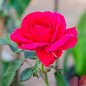 Rote rose — Stockfoto