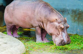 Hippo in the zoo — Stock Photo