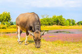 Cow on field — Stock Photo