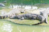 Crocodiles in the zoo — Stock Photo