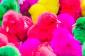 Color chicks — Stock Photo