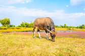 Cow on field — Stock fotografie