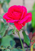 Rose dans le jardin — Photo