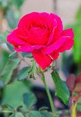 Rose nel giardino — Foto Stock