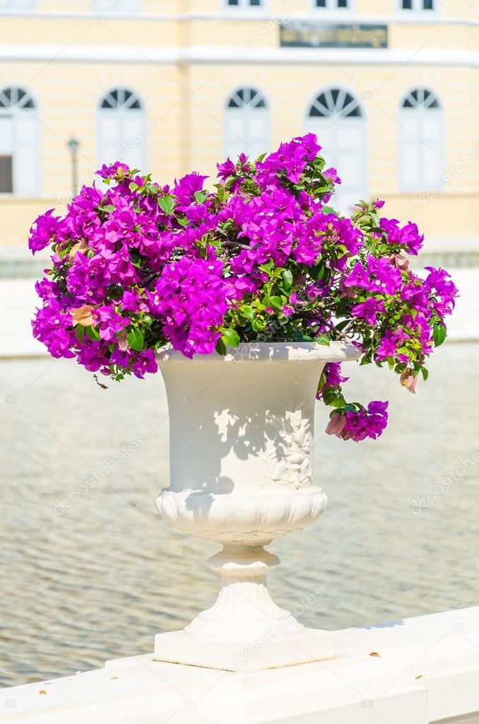 Fiori di bouganville foto stock mrsiraphol 43183983 for Bouganville in vaso