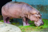 Hippo in the zoo — 图库照片