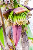Banana blossom — Stock Photo