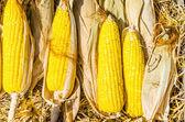 Close up of Corn — Stock Photo