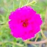Pusley flower — Stock Photo #43895915