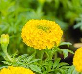 Marigold flowers — Stock Photo