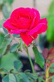 Rose — Stockfoto
