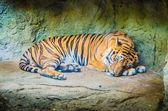 Animal - Tiger — Stock Photo