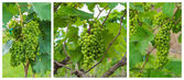 Grapes valley — Stock Photo