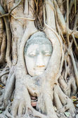 Buddha head statue under root tree in ayutthaya Thailand — Stock Photo