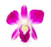 Purple orchid flower isolated white background — Photo