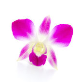 Purple orchid flower isolated white background — Stock Photo
