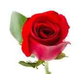 Red rose — Foto Stock
