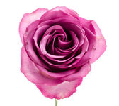 Pink rose — Stok fotoğraf