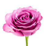 Rosa — Foto Stock