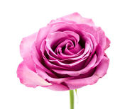 Pink rose isolated on white — Stock Photo