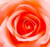 роза — Стоковое фото