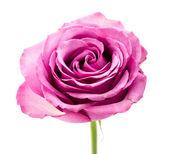 Roze roos geïsoleerd op wit — Stockfoto