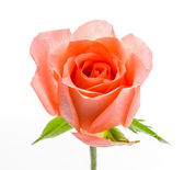 Rosa — Foto de Stock