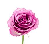 白で隔離されるピンクのローズ — ストック写真