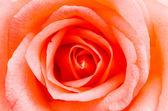 Rose — Φωτογραφία Αρχείου