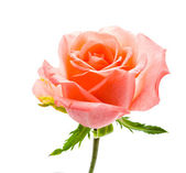 Beautiful Rose — Photo